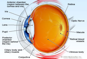 eye anatomy cross section